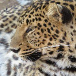 cropped-leopard.jpg